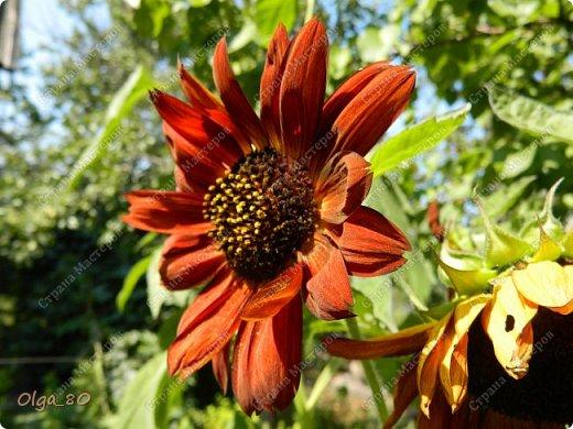 Рада всех приветствовать! Этот мой пост скорее хваст. Не могу не похвастаться своей красавицей петунией! Сорт называется, если не ошибаюсь, «Черный бархат». Может не все оценят черные цветы, но какая же она для меня классная! фото 16