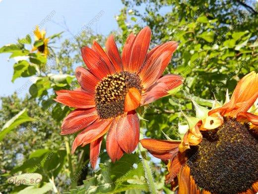Рада всех приветствовать! Этот мой пост скорее хваст. Не могу не похвастаться своей красавицей петунией! Сорт называется, если не ошибаюсь, «Черный бархат». Может не все оценят черные цветы, но какая же она для меня классная! фото 17