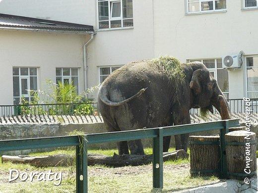 Всех приветствую! Сегодня приглашаю вас прогуляться по калининградскому зоопарку. В этом году зоопарку исполнилось 120 лет. В первые зоопарк распахнул свои двери для посетителей 21 мая в 1896 году. Тогда это был зоопарк г Кёнигсберга. На открытии было показано 893 особи 262 видов животных. Первым директором зоопарка был Г. Клаасс . Зоопарк быстро приобрел популярность и стал любимым местом отдыха у горожан. Зона отдыха занимала практически всю центральную часть зоопарка. Здесь располагались здания и сооружения, предназначенные для проведения различных развлекательных и увеселительных мероприятий: Концертный зал, вмещавший до 2000 человек (сгорел в 1919 г. и не восстанавливался больше, вместо него были построены два музыкальных павильона), и концертная площадка; Общественный дом с главным рестораном; читальный, музыкальный и выставочный павильоны; летние кафе и рестораны, площадки теннисного клуба «Тиргартен»; велотрек; игровая площадка для детей. При хорошей погоде играл духовой оркестр, а зимой в Концертном доме, проходили различные значимые мероприятия. фото 21