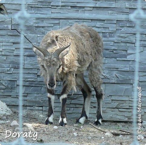 Всех приветствую! Сегодня приглашаю вас прогуляться по калининградскому зоопарку. В этом году зоопарку исполнилось 120 лет. В первые зоопарк распахнул свои двери для посетителей 21 мая в 1896 году. Тогда это был зоопарк г Кёнигсберга. На открытии было показано 893 особи 262 видов животных. Первым директором зоопарка был Г. Клаасс . Зоопарк быстро приобрел популярность и стал любимым местом отдыха у горожан. Зона отдыха занимала практически всю центральную часть зоопарка. Здесь располагались здания и сооружения, предназначенные для проведения различных развлекательных и увеселительных мероприятий: Концертный зал, вмещавший до 2000 человек (сгорел в 1919 г. и не восстанавливался больше, вместо него были построены два музыкальных павильона), и концертная площадка; Общественный дом с главным рестораном; читальный, музыкальный и выставочный павильоны; летние кафе и рестораны, площадки теннисного клуба «Тиргартен»; велотрек; игровая площадка для детей. При хорошей погоде играл духовой оркестр, а зимой в Концертном доме, проходили различные значимые мероприятия. фото 10
