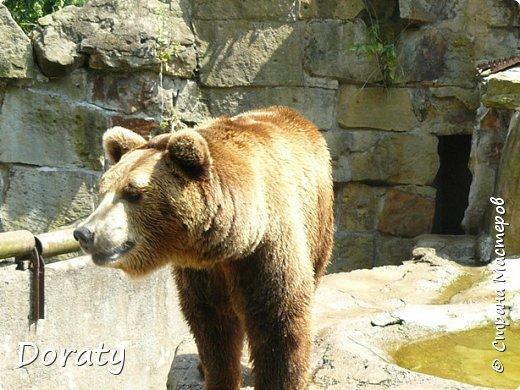 Всех приветствую! Сегодня приглашаю вас прогуляться по калининградскому зоопарку. В этом году зоопарку исполнилось 120 лет. В первые зоопарк распахнул свои двери для посетителей 21 мая в 1896 году. Тогда это был зоопарк г Кёнигсберга. На открытии было показано 893 особи 262 видов животных. Первым директором зоопарка был Г. Клаасс . Зоопарк быстро приобрел популярность и стал любимым местом отдыха у горожан. Зона отдыха занимала практически всю центральную часть зоопарка. Здесь располагались здания и сооружения, предназначенные для проведения различных развлекательных и увеселительных мероприятий: Концертный зал, вмещавший до 2000 человек (сгорел в 1919 г. и не восстанавливался больше, вместо него были построены два музыкальных павильона), и концертная площадка; Общественный дом с главным рестораном; читальный, музыкальный и выставочный павильоны; летние кафе и рестораны, площадки теннисного клуба «Тиргартен»; велотрек; игровая площадка для детей. При хорошей погоде играл духовой оркестр, а зимой в Концертном доме, проходили различные значимые мероприятия. фото 17
