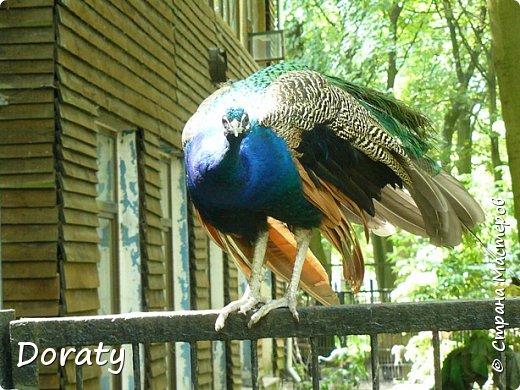 Всех приветствую! Сегодня приглашаю вас прогуляться по калининградскому зоопарку. В этом году зоопарку исполнилось 120 лет. В первые зоопарк распахнул свои двери для посетителей 21 мая в 1896 году. Тогда это был зоопарк г Кёнигсберга. На открытии было показано 893 особи 262 видов животных. Первым директором зоопарка был Г. Клаасс . Зоопарк быстро приобрел популярность и стал любимым местом отдыха у горожан. Зона отдыха занимала практически всю центральную часть зоопарка. Здесь располагались здания и сооружения, предназначенные для проведения различных развлекательных и увеселительных мероприятий: Концертный зал, вмещавший до 2000 человек (сгорел в 1919 г. и не восстанавливался больше, вместо него были построены два музыкальных павильона), и концертная площадка; Общественный дом с главным рестораном; читальный, музыкальный и выставочный павильоны; летние кафе и рестораны, площадки теннисного клуба «Тиргартен»; велотрек; игровая площадка для детей. При хорошей погоде играл духовой оркестр, а зимой в Концертном доме, проходили различные значимые мероприятия. фото 22