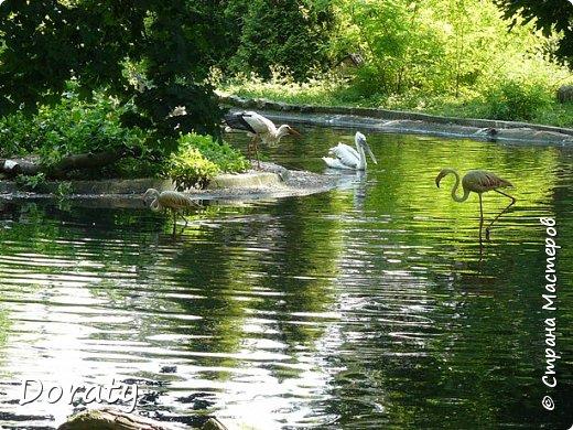 Всех приветствую! Сегодня приглашаю вас прогуляться по калининградскому зоопарку. В этом году зоопарку исполнилось 120 лет. В первые зоопарк распахнул свои двери для посетителей 21 мая в 1896 году. Тогда это был зоопарк г Кёнигсберга. На открытии было показано 893 особи 262 видов животных. Первым директором зоопарка был Г. Клаасс . Зоопарк быстро приобрел популярность и стал любимым местом отдыха у горожан. Зона отдыха занимала практически всю центральную часть зоопарка. Здесь располагались здания и сооружения, предназначенные для проведения различных развлекательных и увеселительных мероприятий: Концертный зал, вмещавший до 2000 человек (сгорел в 1919 г. и не восстанавливался больше, вместо него были построены два музыкальных павильона), и концертная площадка; Общественный дом с главным рестораном; читальный, музыкальный и выставочный павильоны; летние кафе и рестораны, площадки теннисного клуба «Тиргартен»; велотрек; игровая площадка для детей. При хорошей погоде играл духовой оркестр, а зимой в Концертном доме, проходили различные значимые мероприятия. фото 19