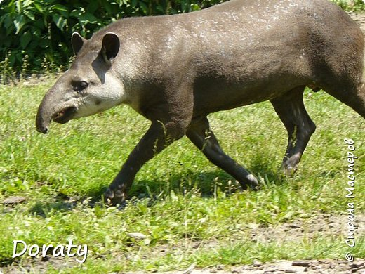 Всех приветствую! Сегодня приглашаю вас прогуляться по калининградскому зоопарку. В этом году зоопарку исполнилось 120 лет. В первые зоопарк распахнул свои двери для посетителей 21 мая в 1896 году. Тогда это был зоопарк г Кёнигсберга. На открытии было показано 893 особи 262 видов животных. Первым директором зоопарка был Г. Клаасс . Зоопарк быстро приобрел популярность и стал любимым местом отдыха у горожан. Зона отдыха занимала практически всю центральную часть зоопарка. Здесь располагались здания и сооружения, предназначенные для проведения различных развлекательных и увеселительных мероприятий: Концертный зал, вмещавший до 2000 человек (сгорел в 1919 г. и не восстанавливался больше, вместо него были построены два музыкальных павильона), и концертная площадка; Общественный дом с главным рестораном; читальный, музыкальный и выставочный павильоны; летние кафе и рестораны, площадки теннисного клуба «Тиргартен»; велотрек; игровая площадка для детей. При хорошей погоде играл духовой оркестр, а зимой в Концертном доме, проходили различные значимые мероприятия. фото 23