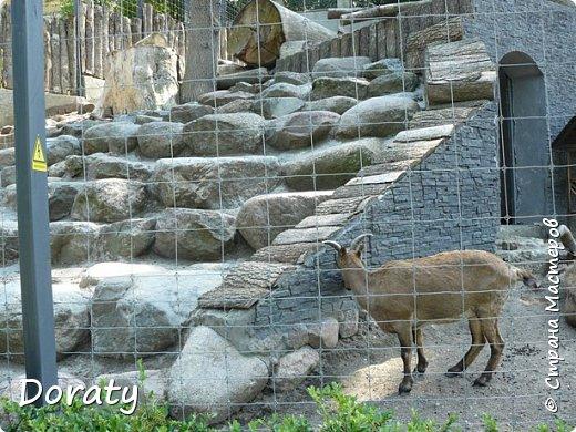 Всех приветствую! Сегодня приглашаю вас прогуляться по калининградскому зоопарку. В этом году зоопарку исполнилось 120 лет. В первые зоопарк распахнул свои двери для посетителей 21 мая в 1896 году. Тогда это был зоопарк г Кёнигсберга. На открытии было показано 893 особи 262 видов животных. Первым директором зоопарка был Г. Клаасс . Зоопарк быстро приобрел популярность и стал любимым местом отдыха у горожан. Зона отдыха занимала практически всю центральную часть зоопарка. Здесь располагались здания и сооружения, предназначенные для проведения различных развлекательных и увеселительных мероприятий: Концертный зал, вмещавший до 2000 человек (сгорел в 1919 г. и не восстанавливался больше, вместо него были построены два музыкальных павильона), и концертная площадка; Общественный дом с главным рестораном; читальный, музыкальный и выставочный павильоны; летние кафе и рестораны, площадки теннисного клуба «Тиргартен»; велотрек; игровая площадка для детей. При хорошей погоде играл духовой оркестр, а зимой в Концертном доме, проходили различные значимые мероприятия. фото 9