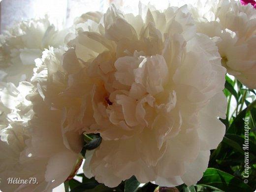 """""""Утренним солнцем давно  Чуткий мой сон озарён. Дрогнули вежды. В окно  Розовый стукнул пион. фото 4"""