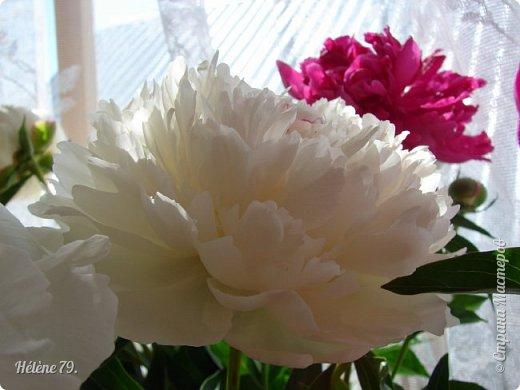 """""""Утренним солнцем давно  Чуткий мой сон озарён. Дрогнули вежды. В окно  Розовый стукнул пион. фото 7"""