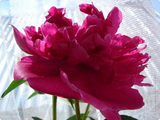 """""""Утренним солнцем давно  Чуткий мой сон озарён. Дрогнули вежды. В окно  Розовый стукнул пион. фото 11"""