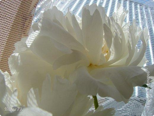 """""""Утренним солнцем давно  Чуткий мой сон озарён. Дрогнули вежды. В окно  Розовый стукнул пион. фото 12"""