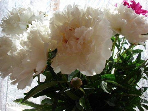 """""""Утренним солнцем давно  Чуткий мой сон озарён. Дрогнули вежды. В окно  Розовый стукнул пион. фото 14"""