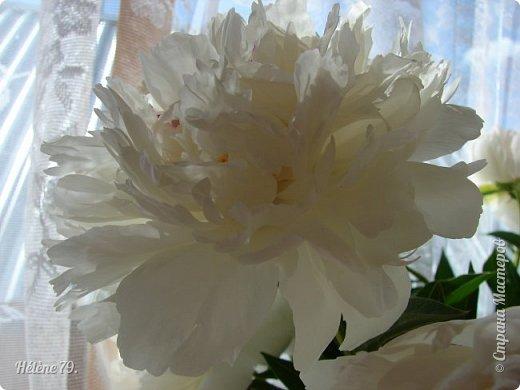 """""""Утренним солнцем давно  Чуткий мой сон озарён. Дрогнули вежды. В окно  Розовый стукнул пион. фото 15"""