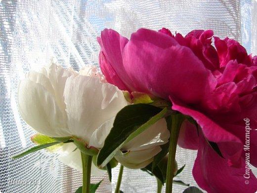 """""""Утренним солнцем давно  Чуткий мой сон озарён. Дрогнули вежды. В окно  Розовый стукнул пион. фото 16"""