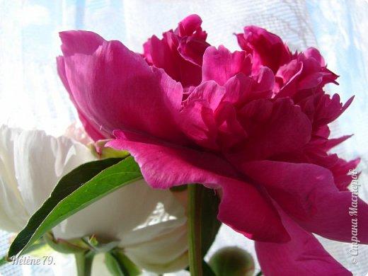 """""""Утренним солнцем давно  Чуткий мой сон озарён. Дрогнули вежды. В окно  Розовый стукнул пион. фото 17"""