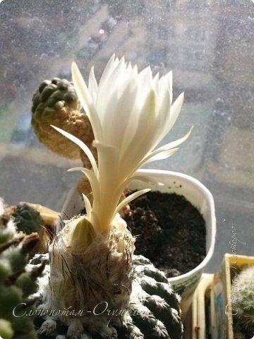 Доброго времени суток, Страна! Я с очередным прямым репортажем с места событий. На сей раз показываю цветение одного моего зелёного ёжика-кактусёнка. Цветок настолько красивый, что я посвящаю ему отдельную запись в своём блоге. Кактус называется Discocactus horstii - Дискокактус хорсти. фото 9