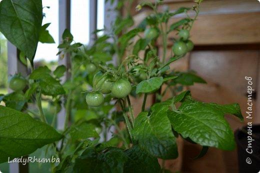 """Всем доброго времени суток!   Я продолжаю мини-репортаж со своего балконного огорода. В этом году я посеяла кучу семян: помидоры, перцы, огурцы, щавель, фиолетовый базилик и даже репу (гы-гы-гы). А фасоль уже как-то случайно """"сама"""" посеялась прямо из пакета сухой магазинной. И уже на каждом кусте есть стручки. Я и не надеялась, что взойдут ВСЕ семена, а выбрасывать, конечно же, мне их было жаль. Пришлось накупать горшков и рассаживать. И все это на балконе! В общем, пока отчитаюсь о помидорах. Вот уже первые завязавшиеся помидорки. фото 2"""