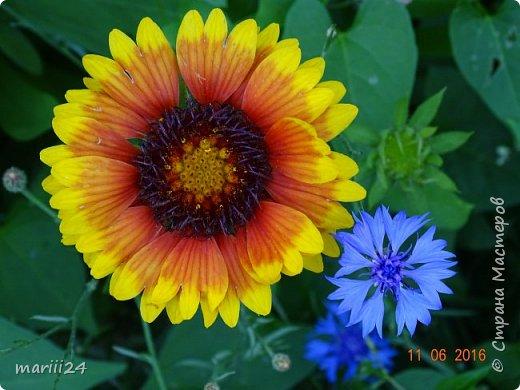 Добрый день, уважаемые жители СМ. Продолжаю выкладывать фото своего сада. Главная героиня сегодняшнего фоторепортажа - шток-роза. фото 13