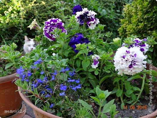Добрый день, уважаемые жители СМ. Продолжаю выкладывать фото своего сада. Главная героиня сегодняшнего фоторепортажа - шток-роза. фото 14