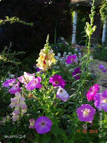 Добрый день, уважаемые жители СМ. Продолжаю выкладывать фото своего сада. Главная героиня сегодняшнего фоторепортажа - шток-роза. фото 15