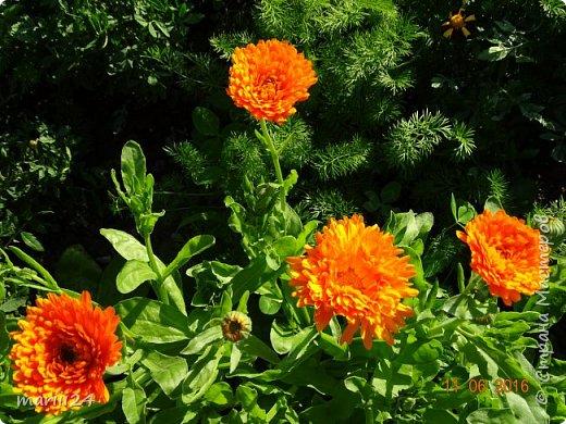Добрый день, уважаемые жители СМ. Продолжаю выкладывать фото своего сада. Главная героиня сегодняшнего фоторепортажа - шток-роза. фото 16