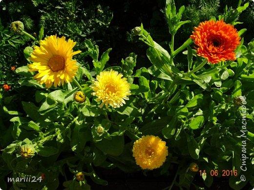 Добрый день, уважаемые жители СМ. Продолжаю выкладывать фото своего сада. Главная героиня сегодняшнего фоторепортажа - шток-роза. фото 17