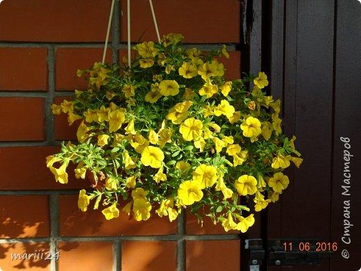 Добрый день, уважаемые жители СМ. Продолжаю выкладывать фото своего сада. Главная героиня сегодняшнего фоторепортажа - шток-роза. фото 18
