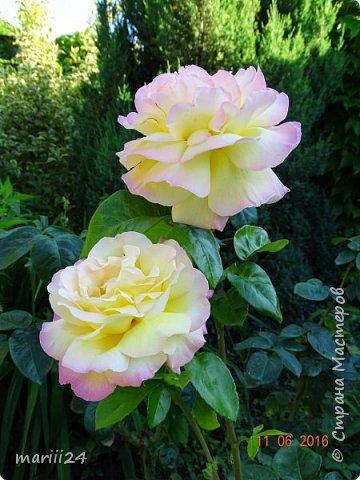 Добрый день, уважаемые жители СМ. Продолжаю выкладывать фото своего сада. Главная героиня сегодняшнего фоторепортажа - шток-роза. фото 20