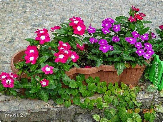 Добрый день, уважаемые жители СМ. Продолжаю выкладывать фото своего сада. Главная героиня сегодняшнего фоторепортажа - шток-роза. фото 21