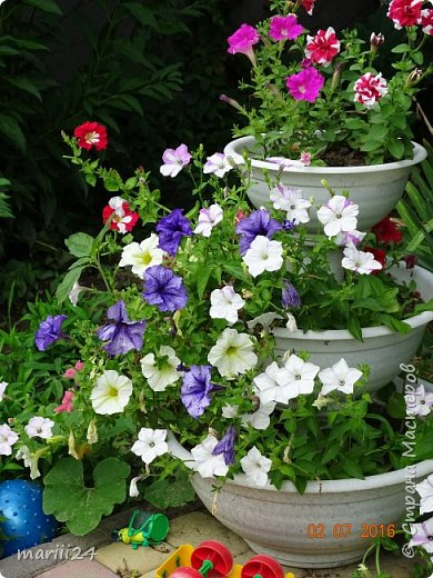 Добрый день, уважаемые жители СМ. Продолжаю выкладывать фото своего сада. Главная героиня сегодняшнего фоторепортажа - шток-роза. фото 23