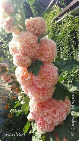 Добрый день, уважаемые жители СМ. Продолжаю выкладывать фото своего сада. Главная героиня сегодняшнего фоторепортажа - шток-роза. фото 3