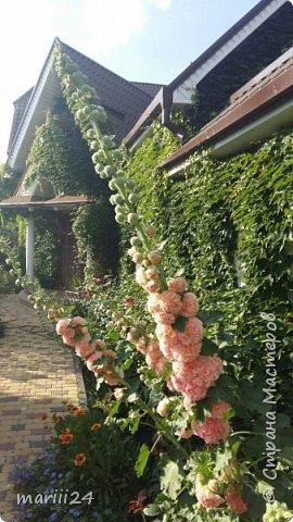 Добрый день, уважаемые жители СМ. Продолжаю выкладывать фото своего сада. Главная героиня сегодняшнего фоторепортажа - шток-роза. фото 4
