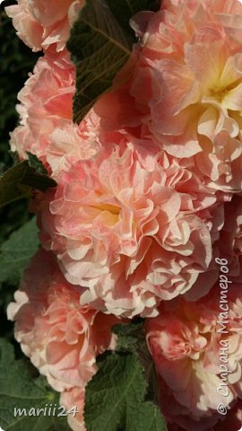 Добрый день, уважаемые жители СМ. Продолжаю выкладывать фото своего сада. Главная героиня сегодняшнего фоторепортажа - шток-роза. фото 1
