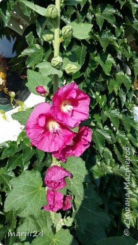 Добрый день, уважаемые жители СМ. Продолжаю выкладывать фото своего сада. Главная героиня сегодняшнего фоторепортажа - шток-роза. фото 5