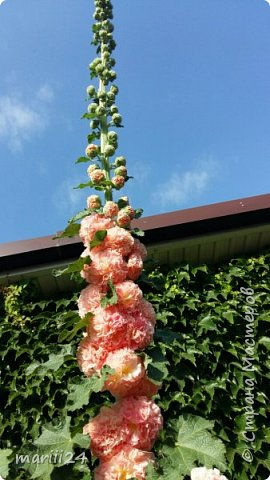 Добрый день, уважаемые жители СМ. Продолжаю выкладывать фото своего сада. Главная героиня сегодняшнего фоторепортажа - шток-роза. фото 2