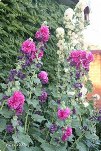 Добрый день, уважаемые жители СМ. Продолжаю выкладывать фото своего сада. Главная героиня сегодняшнего фоторепортажа - шток-роза. фото 6