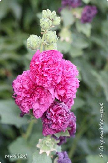 Добрый день, уважаемые жители СМ. Продолжаю выкладывать фото своего сада. Главная героиня сегодняшнего фоторепортажа - шток-роза. фото 7