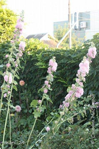 Добрый день, уважаемые жители СМ. Продолжаю выкладывать фото своего сада. Главная героиня сегодняшнего фоторепортажа - шток-роза. фото 9