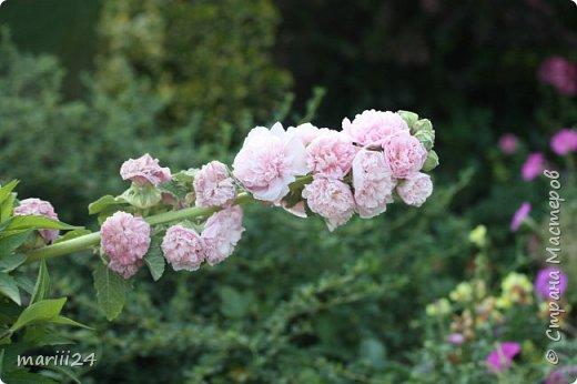 Добрый день, уважаемые жители СМ. Продолжаю выкладывать фото своего сада. Главная героиня сегодняшнего фоторепортажа - шток-роза. фото 10