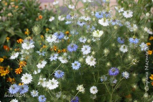 Добрый день, уважаемые жители СМ. Продолжаю выкладывать фото своего сада. Главная героиня сегодняшнего фоторепортажа - шток-роза. фото 11