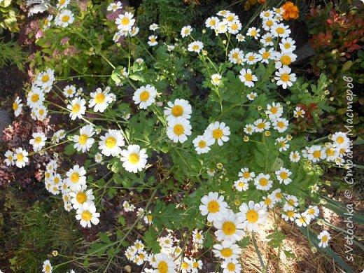 Пиретрум девичий. Диаметр цветка не больше 2 см. фото 1