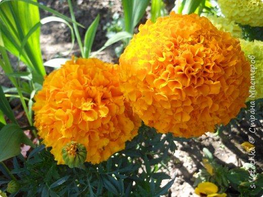 Пиретрум девичий. Диаметр цветка не больше 2 см. фото 2