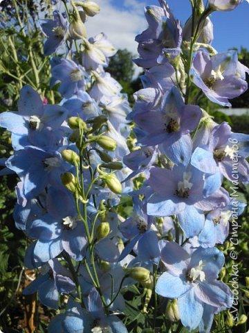 Пиретрум девичий. Диаметр цветка не больше 2 см. фото 4
