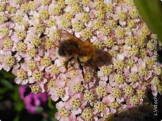 Пиретрум девичий. Диаметр цветка не больше 2 см. фото 5