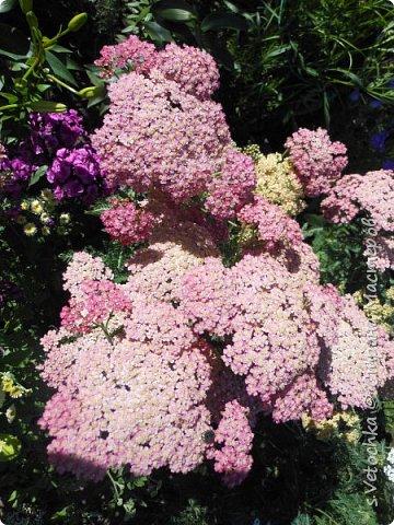 Пиретрум девичий. Диаметр цветка не больше 2 см. фото 9