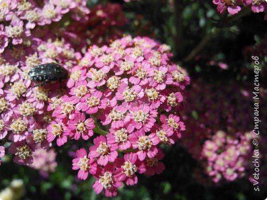 Пиретрум девичий. Диаметр цветка не больше 2 см. фото 6