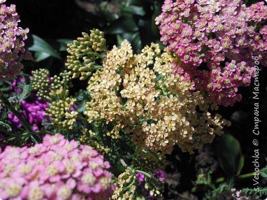 Пиретрум девичий. Диаметр цветка не больше 2 см. фото 7