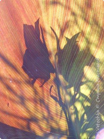 Пиретрум девичий. Диаметр цветка не больше 2 см. фото 11