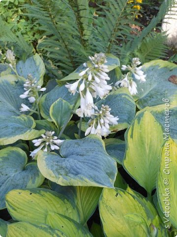 Пиретрум девичий. Диаметр цветка не больше 2 см. фото 13