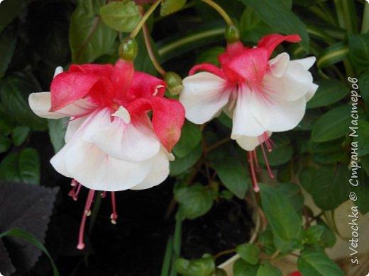 Пиретрум девичий. Диаметр цветка не больше 2 см. фото 15
