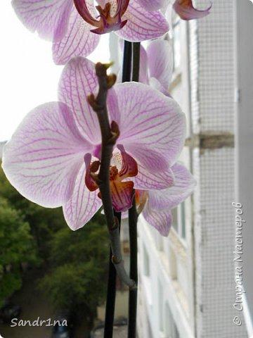 Фоторепортаж Мои фантазии (орхидеи) (1) фото 3