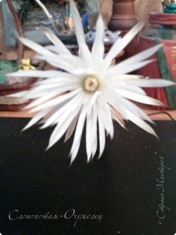 Доброго времени суток, земляки и землячки! Вот ещё один мой кактусёныш порадовал цветением. Кактус называется Echinopsis (Setiechinopsis) mirabilis - Эхинопсис мирабилис. Цветёт ночью. фото 12